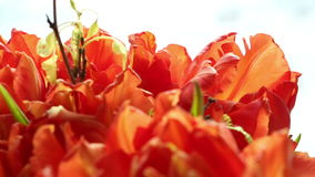 Beautiful bouquet of orange tulips turning. stock video