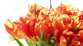 Beautiful bouquet of orange tulips turning. stock footage