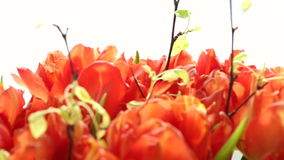Beautiful bouquet of orange tulips. Video blur and focus. stock video footage