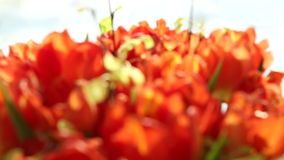 Beautiful bouquet of orange tulips. Video blur and focus. stock video