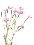 Beautiful bouquet of pink carnations Royalty Free Stock Image