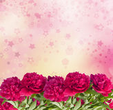 Beautiful bouquet of pink peonies. On the abstract background with bokeh effect Royalty Free Stock Images
