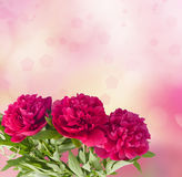 Beautiful bouquet of pink peonies. On the abstract background with bokeh effect Stock Image