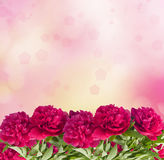 Beautiful bouquet of pink peonies. On the abstract background with bokeh effect Royalty Free Stock Photo