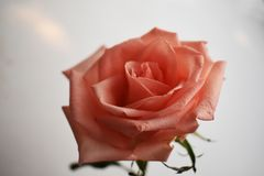Beautiful bouquet of pink rose flowers isolated on white background stock image