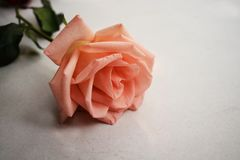Beautiful bouquet of pink rose flowers isolated on white background stock photos
