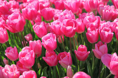 Beautiful bouquet of pink Tulips field Stock Images