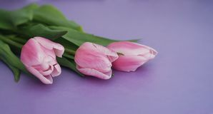 Beautiful bouquet of Pink tulips Flowers, isolated on Purple Background. Banner. copy space. royalty free stock images