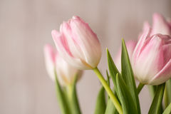 Beautiful Bouquet of Pink and White Tulips Royalty Free Stock Image