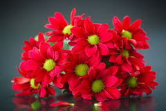 Beautiful bouquet of red chrysanthemums Royalty Free Stock Photography