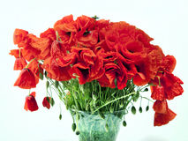 A beautiful bouquet of red poppies Stock Photography