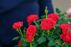 Beautiful bouquet of red roses stock photography