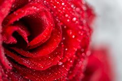 Beautiful bouquet of red roses, love and romance concept. Perfect bouquet of red roses, love and romance concept royalty free stock photography