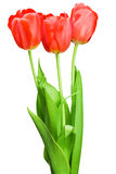 Beautiful bouquet of red tulips Royalty Free Stock Image