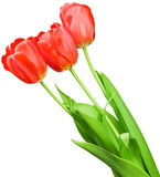 Beautiful bouquet of red tulips Stock Photography