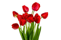 Beautiful bouquet of red  tulips Royalty Free Stock Images