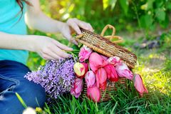 Beautiful bouquet of red tulips and lilac in a basket Royalty Free Stock Photo