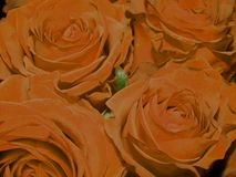 Beautiful bouquet of roses. Close-up royalty free stock photography