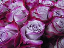 A large bouquet of roses, two-tone purple and raspberry color Royalty Free Stock Images
