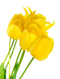 Beautiful bouquet of spring yellow Tulips flower is isolated on Stock Photography