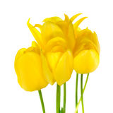 Beautiful bouquet of spring yellow Tulips flower is isolated on Royalty Free Stock Photography