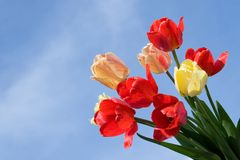 Beautiful bouquet of tulips Stock Images