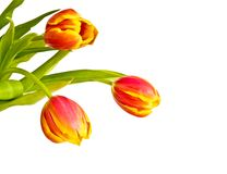 Beautiful bouquet of tulips Stock Photos