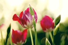 Beautiful bouquet of tulips. stock photography