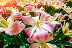Beautiful bouquet of tulips. Royalty Free Stock Photos