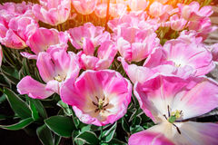 Beautiful bouquet of tulips. Royalty Free Stock Photo