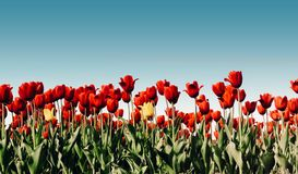 Beautiful bouquet of tulips. colorful tulips. tulips in spring s Royalty Free Stock Photo