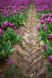 Beautiful bouquet of tulips. colorful tulips. tulips in spring s Royalty Free Stock Image