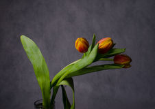 Beautiful bouquet of tulips  in the drops of water Stock Images