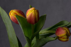 Beautiful bouquet of tulips  in the drops of water Stock Photography