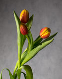 Beautiful bouquet of tulips in drops of water Royalty Free Stock Image