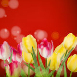 Beautiful bouquet tulips on red.  Stock Photography