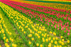 Beautiful bouquet of tulips in spring season . Stock Photos