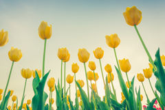 Beautiful bouquet of tulips in spring season . ( Filtered image Royalty Free Stock Image