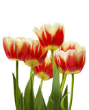Beautiful bouquet of tulips on a white background Stock Photography