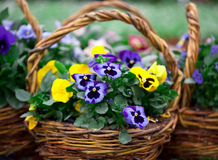 Beautiful bouquet viola Royalty Free Stock Photography