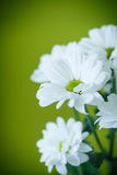 Beautiful bouquet of white chrysanthemums Stock Photography