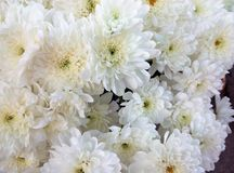 Beautiful bouquet of white chrysanthemums. White background of autumn flowers Royalty Free Stock Photos