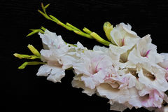 Beautiful bouquet of white, pink gladioluses on black background. Beautiful bouquet of white, pink gladioluses are on black background. Suitable for love Royalty Free Stock Images