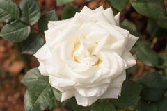 Beautiful bouquet white rose blooming in the garden. Beautiful bouquet white rose in the garden Royalty Free Stock Photography