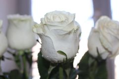 A beautiful bouquet of white roses will appeal to every woman. His royal fragrance will conquer every. Wonderful royalty free stock image