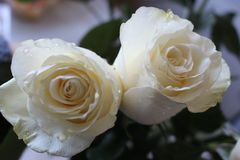 A beautiful bouquet of white roses will appeal to every woman. His royal fragrance will conquer every. Wonderful royalty free stock photo