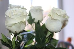 A beautiful bouquet of white roses will appeal to every woman. His royal fragrance will conquer every. Wonderful royalty free stock images