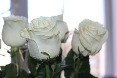 A beautiful bouquet of white roses will appeal to every woman. His royal fragrance will conquer every. Wonderful stock photography