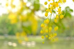 A beautiful bouquet of yellow golden shower flower blossom royalty free stock images