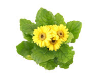 Beautiful bouquet of yellow herbera flowers. Isolated on white background Stock Image